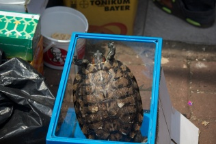 Turtle in a box, trying its hardest to escape