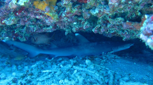 Baby White-tip Reef Shark