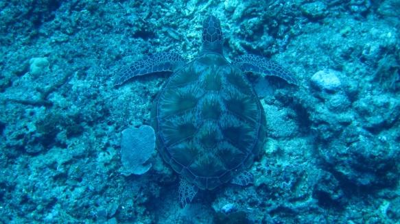 Hawkbill Turtle
