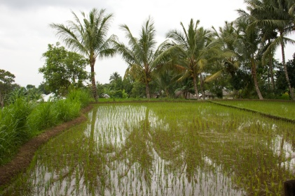 Rice fields and water falls