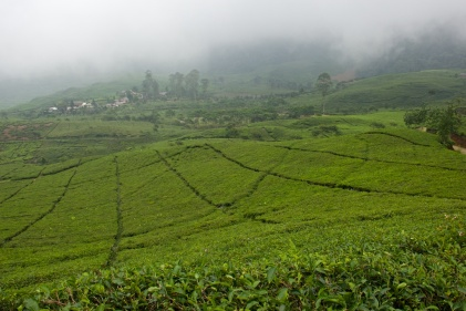 Puncak Tea Estate Walk