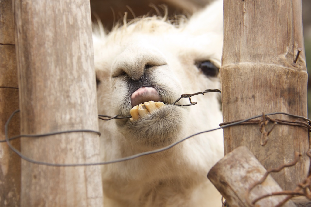 The llama trying to open the clasp of the gate