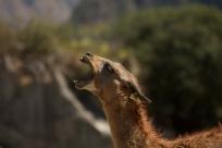 Llama yawning