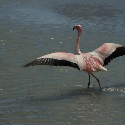 Flamingos-1