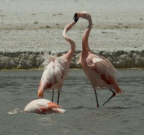 Flamingos-15