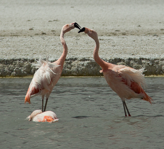Flamingos-16