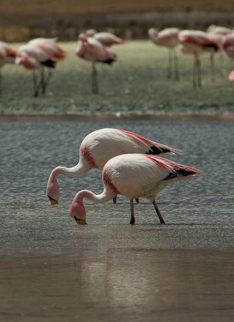 Flamingos-17