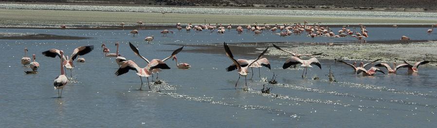Flamingos-4