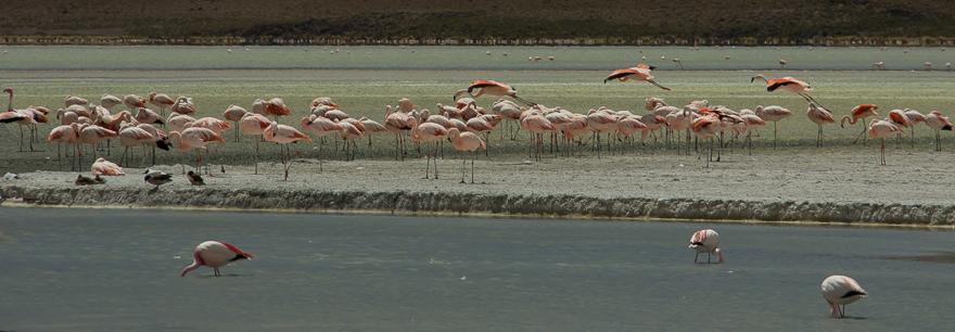 Flamingos-6