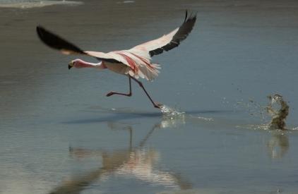 Flamingos-7