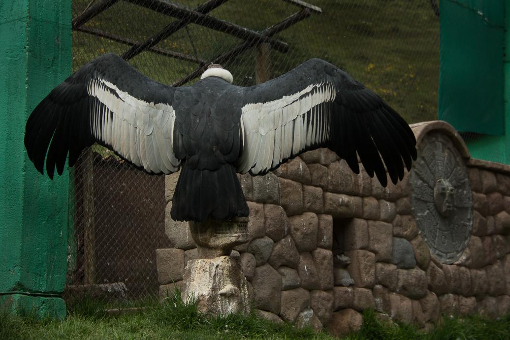 condor-45