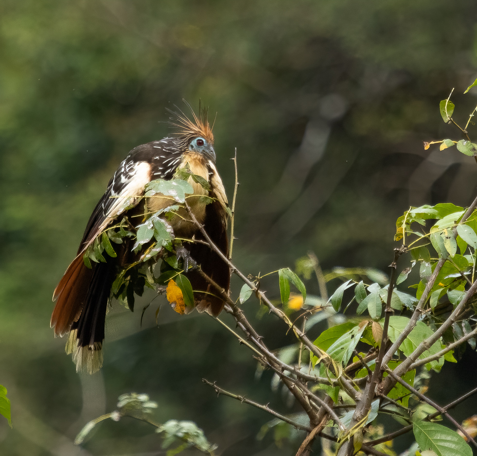 Hoatzin, In a League of its Own